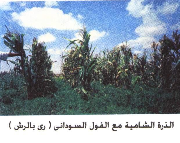 تحميل بعض المحاصيل مع الذرة الشامية 1137490185