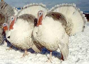 تربية الدجاج الرومى 1173011827